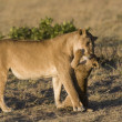 Stock Photo: Lioness and her cub in Masai Mar- Kenya