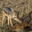 Stock Photo: Black Backed Jackal Scavenges on Topi (Lion Kill)
