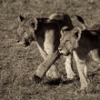 Stock Photo: Lion cubs walking across Masai Mara