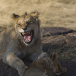 Juvenile Lion and Lion cub in the Masai Mara — Stock Photo