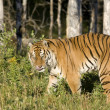 Siberian Tiger emerges from the woodlands - Stock Photo