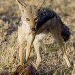 Black Backed Jackal Scavenges on a Topi (Lion Kill) - Stock Photo