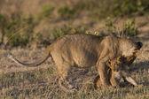 Löwin und ihr Jungtier in der Masai mara — Stockfoto