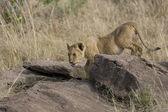 Young Lion in the Masai Mara — Stock Photo