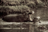 2 Hippos fight in the water — Stock Photo