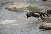 Wildebeest herd crossing the Mara river — Stock Photo