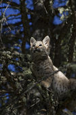 Bobcat kitten gets stuck in a tree — Stock Photo