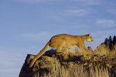 マウンテン ライオン岩の露頭にジャンプします — ストック写真