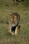 Siberian Tiger running — Stock Photo