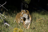 Siberian Tiger appears at the edge of the woods — Stock Photo