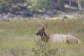 Female Elk lazes in the midday heat — Stock Photo