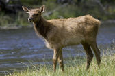 Elk grazes beside a river in Montana — Stock Photo