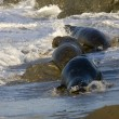 Bull Elephant Seals get chased off by Dominant male on San Simeon beach - Stock Photo
