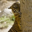 6 Month old Sumatran Tiger clawing a tree — Stock Photo