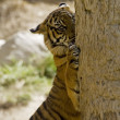 6 Month old Sumatran Tiger clawing a tree — Stock Photo #8393819