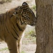 Stock Photo: 6 Month old SumatrTiger scent marking tree
