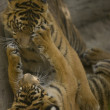 6 Month old Sumatran Tigers play fighting — Stock Photo #8393829