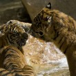 6 Month old Sumatran Tigers play fighting — Stock Photo