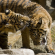 Royalty-Free Stock Photo: 6 Month old Sumatran Tigers play fighting