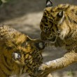 6 Month old Sumatran Tigers play fighting — Stock Photo #8393875