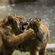 6 Month old Sumatran Tigers play fighting — Stock Photo #8393889