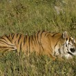 SiberiTiger lays down by forest edge — Stock Photo #8394073