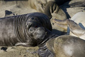 Elephant Seal Pups on San Simeon Beach — Stock Photo
