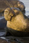Bull Elephant Seal on San Simeon Beach - California — Stock Photo