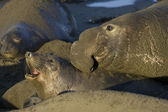Elephant Seals mate on San Simeon Beach — Stock Photo
