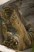 6 Month old Sumatran Tigers play fighting — Stock Photo