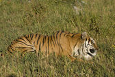 Siberian Tiger lays down by the forest edge — Stock Photo