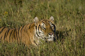 Siberian Tiger lays the edge of the woods — Stock Photo