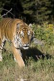 Siberian Tiger walking — ストック写真