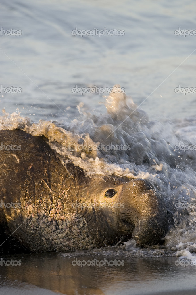 Bull Elephant Seal on San Simeon Beach - California — Stock Photo #8393627