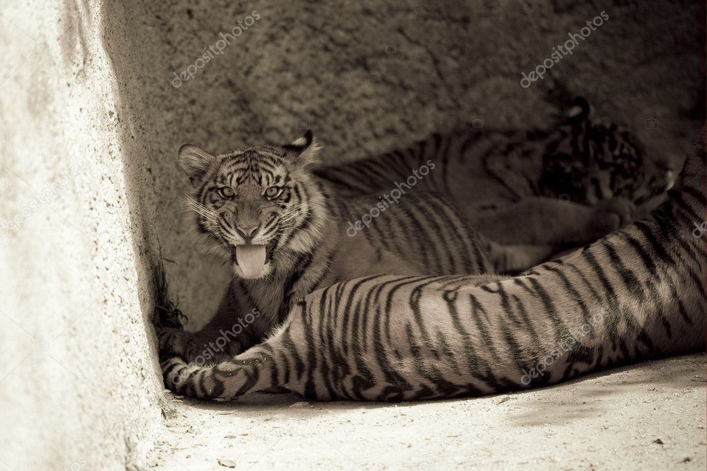 6 Month old Sumatran Tiger snarls — Stock Photo #8393831