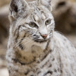 Stock Photo: Bobcat in Arizona