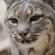 Bobcat in Arizona - Stock Photo