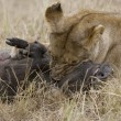 Lioness killing a warthog in the Masai Mara — Stock Photo