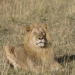 Male Lion in Masai Mara — Stock Photo #8470273