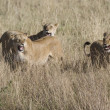 Lionesses attack an invading Male to protect the pride — Stock Photo