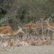 Impala in the Masai Mara — Stock Photo