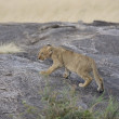 Stock Photo: Lion cub in Masai Mar- Kenya