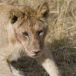 Stock Photo: Young male Lion in Masai Mara