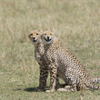 Cheetah brothers in Masai Mara — Stock Photo #8470629