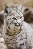Bobcat in Arizona — Stock Photo
