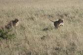 Las leonas atacan un macho invasor para proteger el orgullo — Foto de Stock
