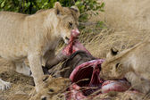 Lions feed on wildebeest carcass in the Masai Mara — Stock Photo