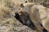 Lion feeds on wildebeest carcass in the Masai Mara — Stock Photo