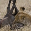 Stock Photo: Lioness killing warthog in Masai Mara