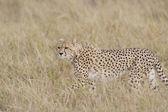 Female Cheetah walking across the Masai Mara — Stock Photo